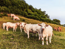 White Cows at Giechburg Castle Stock Photography