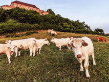 White Cows at Giechburg Castle Royalty Free Stock Photo