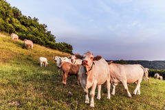 White Cows at Giechburg Castle Royalty Free Stock Photos