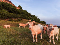 White Cows at Giechburg Castle Stock Photo