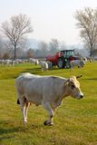 White cows grazing Stock Photography