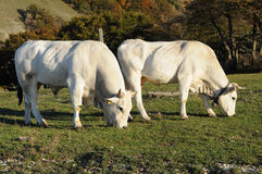 White cows grazing Stock Image