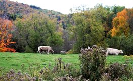 White cows grazing with autumn landscape stock image