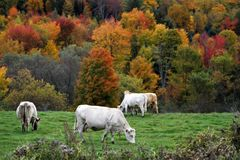 White cows grazing with autumn landscape stock photo