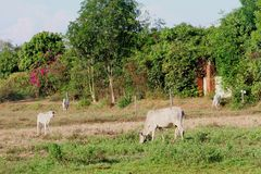 White cows grazing cattle countryside nature, Cambodia Stock Images