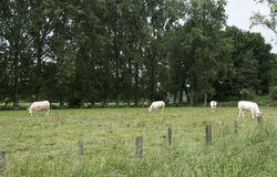 White cows grazing green grass Stock Image