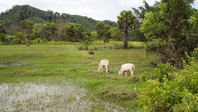 White cows are grazing on a rice green field near the forest, Thailand Royalty Free Stock Photo