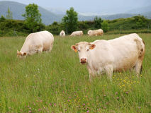 White cows on green field with mountains as background. South France  countryside landscape with animals eating grass Stock Photo
