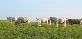 White cows Royalty Free Stock Photography
