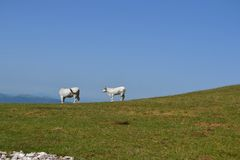 White cows on the pasture Stock Images