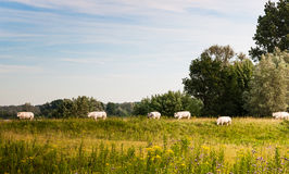 White cows walking on a Dutch dike Royalty Free Stock Photography
