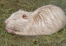 Coypu or river rat or nutria. White coypu or river rat or nutria royalty free stock photo