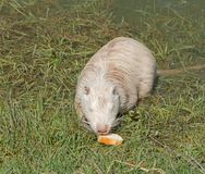 Coypu or river rat or nutria. White coypu or river rat or nutria eating a bread royalty free stock photography