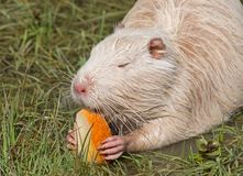 Coypu or river rat or nutria. White coypu or river rat or nutria eating a bread royalty free stock images