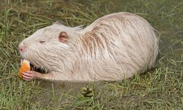 Coypu or river rat or nutria. White coypu or river rat or nutria eating a bread stock photo