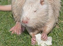 Coypu or river rat or nutria. White coypu or river rat or nutria eating a cabbage stock photography