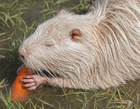Coypu or river rat or nutria. White coypu or river rat or nutria eating a carrot royalty free stock photography
