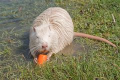 Coypu or river rat or nutria. White coypu or river rat or nutria eating a carrot stock photography
