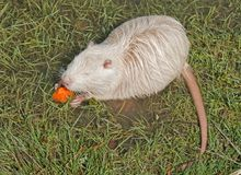 Coypu or river rat or nutria. White coypu or river rat or nutria eating a carrot royalty free stock image