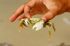 White crab Royalty Free Stock Photo