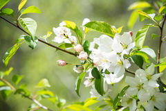 White crab apple flowers stock photo