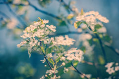 White Crab Apple Tree Flowers - Retro Stock Image