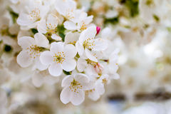 White Crab Apple Trees in Spring Bloom Stock Images