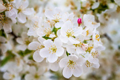 White Crab Apple Trees in Spring Bloom Stock Photos