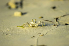 The white crab Royalty Free Stock Photos