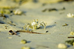 The white crab Royalty Free Stock Photo