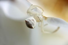 White crab spider 4 Royalty Free Stock Image