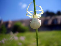 White Crab Spider Royalty Free Stock Images
