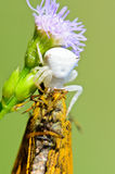 White Crab Spider on flower Royalty Free Stock Photos