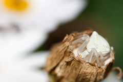 White Crab spider. Crab spider is a common name applied loosely to many species of spiders, but most nearly consistently to members of the family Thomisidae Royalty Free Stock Photo