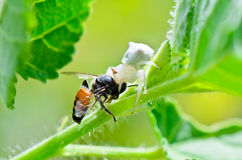 White Crab Spider eating a bee. White Crab Spider has almost translucent head and legs eating bees Stock Image