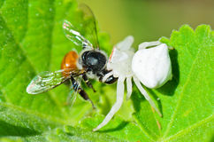 White Crab Spider eating a bee. White Crab Spider has almost translucent head and legs eating bees Royalty Free Stock Photo