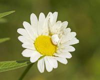 White Crab Spider in flower Stock Image