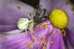White crab spider with a fly stock photos