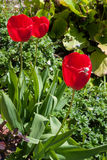 White Crab spider (misumena vatiaon) on red tulips Royalty Free Stock Photo