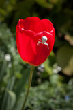 White Crab spider (misumena vatiaon) on red tulips in an english Stock Photography