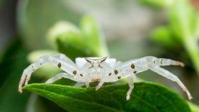 White Crab Spider Stock Photos
