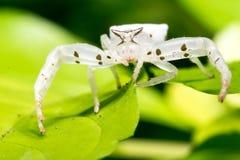 White Crab Spider Stock Image