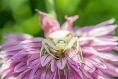 White crab spider Stock Photo