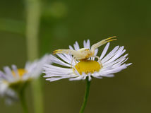 White crab-spider Royalty Free Stock Images
