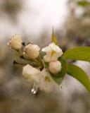 White Crabapple Blossom. Macro of white crab apple blossom in spring Stock Images
