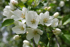 White Crabapple Flowers and Buds. White Crabapple flowers from an ornamental tree in Littlefork, MN Stock Photo