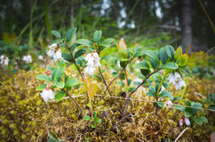White cranberry flowers, macro photo. Natural background, selective focus Stock Image