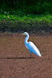 White Crane. Gleaming in the afternoon sun Royalty Free Stock Photos