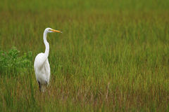 White Crane Royalty Free Stock Photo