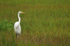 White Crane. Large white crane or egret Royalty Free Stock Photo